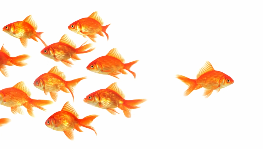 School of goldfish with one fish swimming in the opposite direction